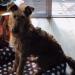 "Tracy, ""Jigsaw"", Irish terrier"
