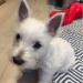 """Amanda, """"Bobby"""", West Highland Terrier"""
