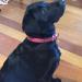 "Emma, ""Daisy"", Labrador"