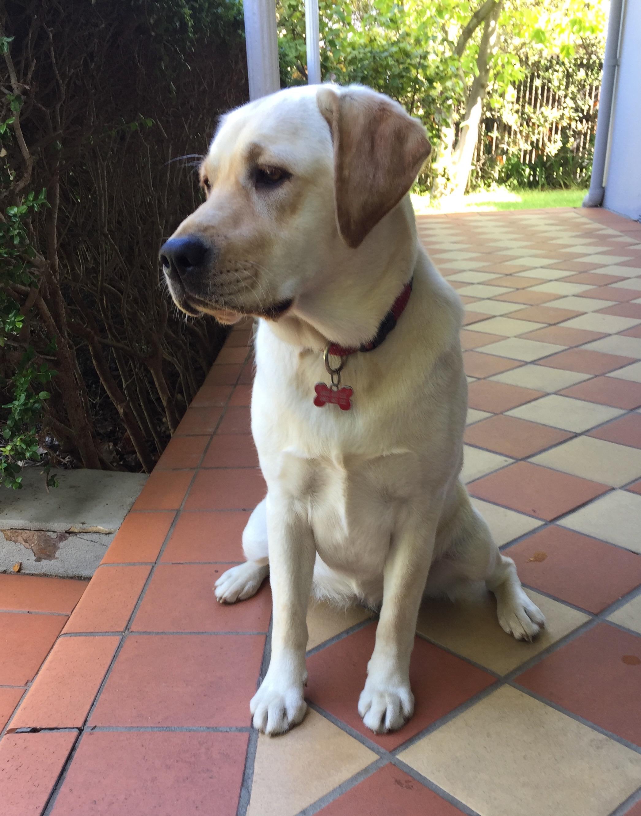 """Chris, """"Daisey"""", Labrador"""